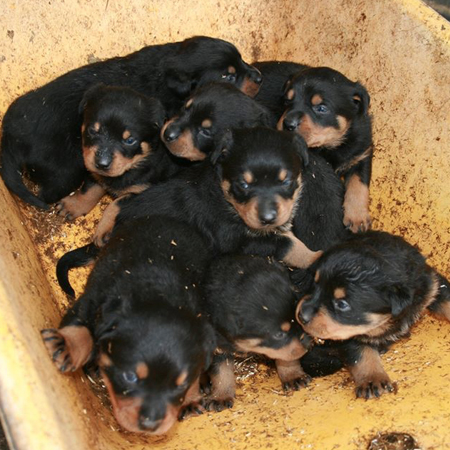 What Is The Best Large Breed Dog Rottweiler Food Puppy